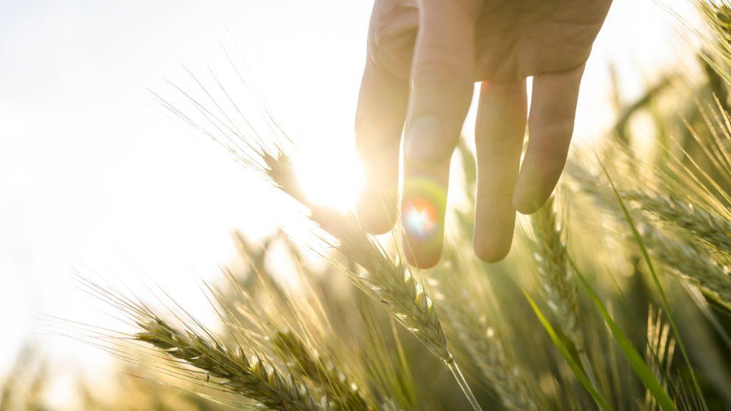 Che ne sai tu di un campo di grano