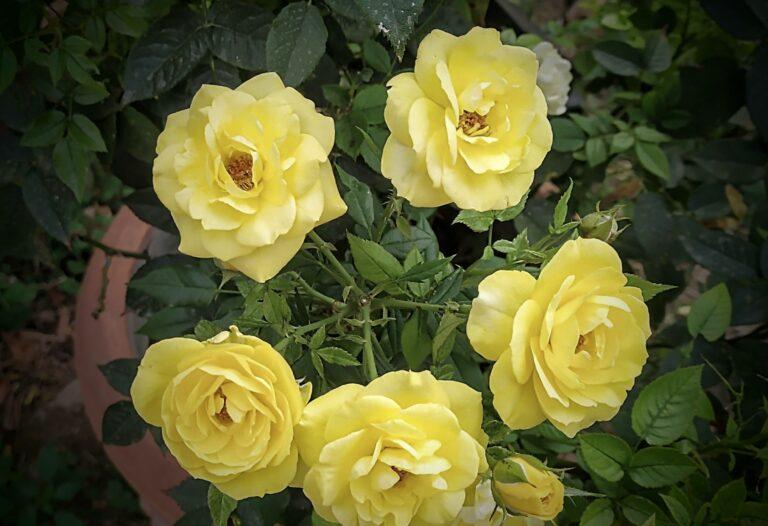 Girotondo giallo giallo
